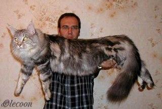 Самая классная кошка в мире:) Мейн-кун