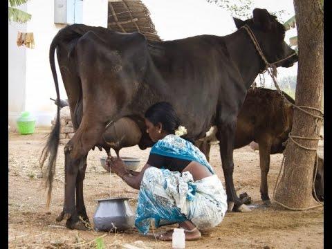 инодия корова