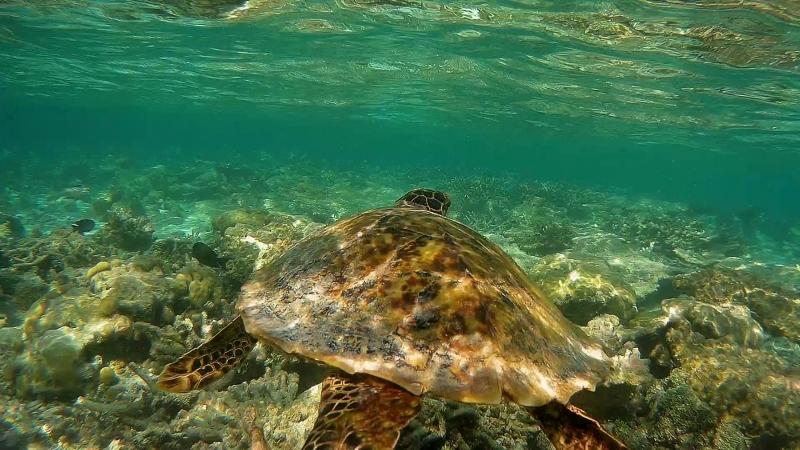 Фантастический подводный мир Мальдив. Ежедневное (!) плавание с черепахой!