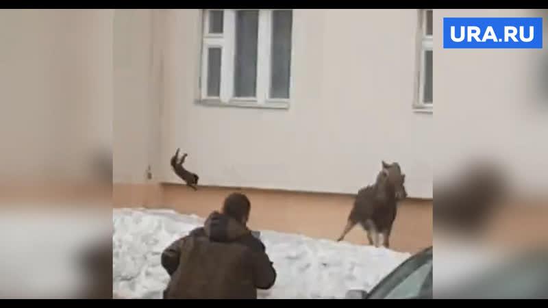 В Башкирии заблудившегося лося прогнали, бросив в него кота