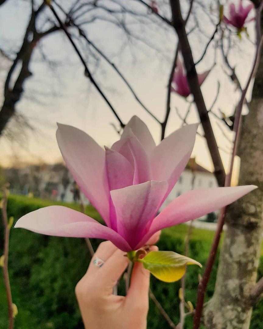 фото цветущей магнолии в краснодаре передачу утренняя почта