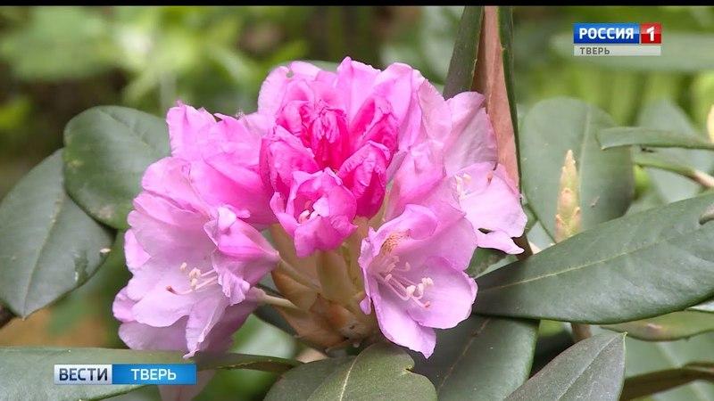 В Ботаническом саду Тверского госуниверситета распустились рододендроны