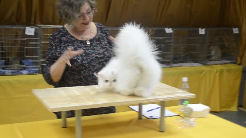 Выставка WCF Golden cat Tver, Pearl Jubilee Show - 10-11112018