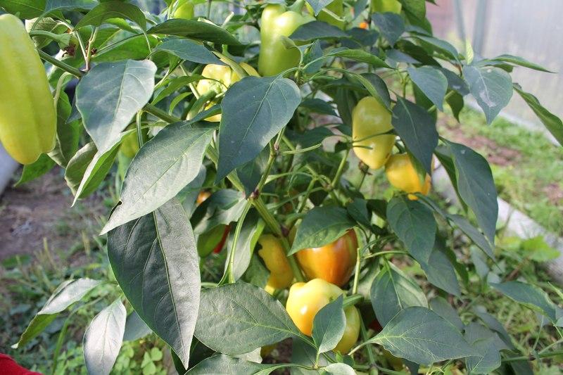 Фотоальбом «Осень - а что в саду и огороде»-Перец,вымерзший в мае