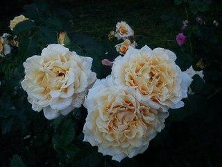 Растишек нет розы казани