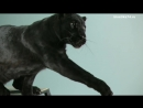 Домашняя черная пантера