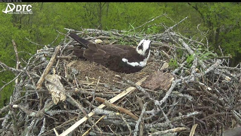 LIVE 4K Osprey Nest BirdCam in Carthage, TN courtesy of DTC Communications.