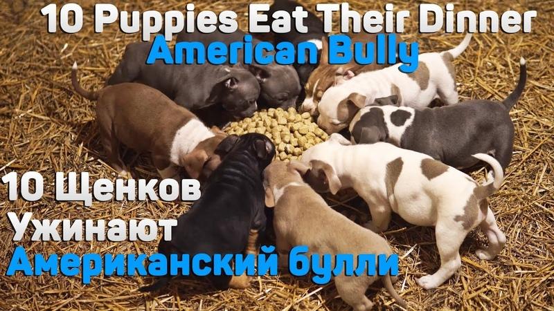 10 щенов Американского Булли кушают вместе. 10 Puppies Eat Their Dinner Together