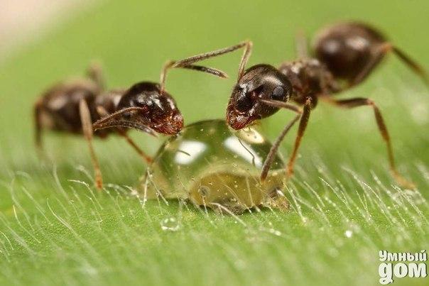 Как избавиться от муравьев Как правило, особенно опасны муравьи, которые располагаются у молодых корешков дерева. Для их уничтожения можно пользоваться как обыкновенной, так и хлорной известью. Ту и другую (негашеную) известь надо насыпать на муравьиные кучи и полить водой. Двадцатипроцентный раствор карболки, налитый на кучу, заставляет муравьев бежать. Рекомендуется обмазывать стволы деревьев непосредственно над землей кольцом дегтя. Можно покрыть приствольный круг яблони, на которой в…