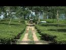 Чайная плантация Намсанг, штат Ассам