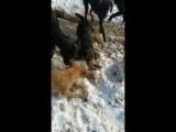 ягдтерьер патрон и лисица