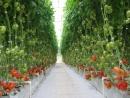 Выращивание томатов на гидропонике в Голландии