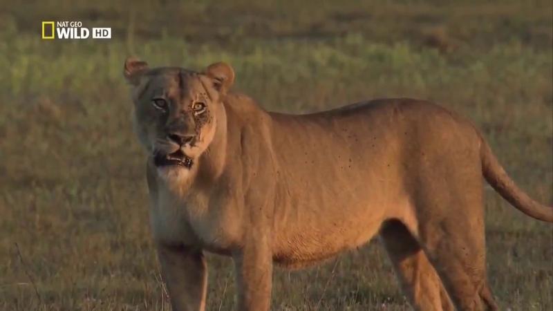 Животные мира Пустыни Саванны Материнское чувство Гиена царица хищников Война кланов Африка сегодня