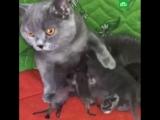 Кошка приютила новорожденных енотов-полоскунов