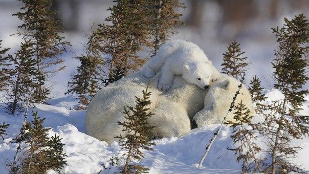 Маленький мишка охраняет маму, пока она спит.