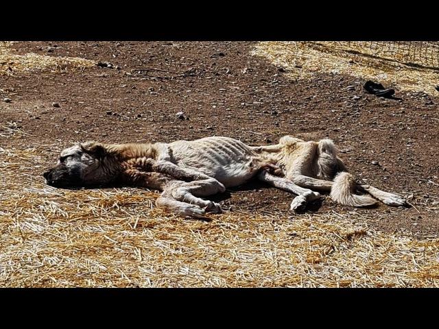 Açlıktan Ölmek Üzere Olan Köpeği Hayvansever Gençler Kurtardı
