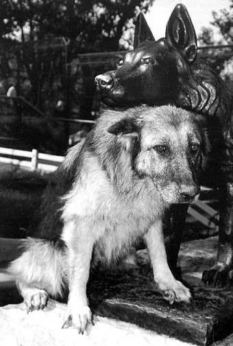 В 1987 году Габи, немецкая овчарка, победила в схватке ягуара, сбежавшего из зоопарка Белграда