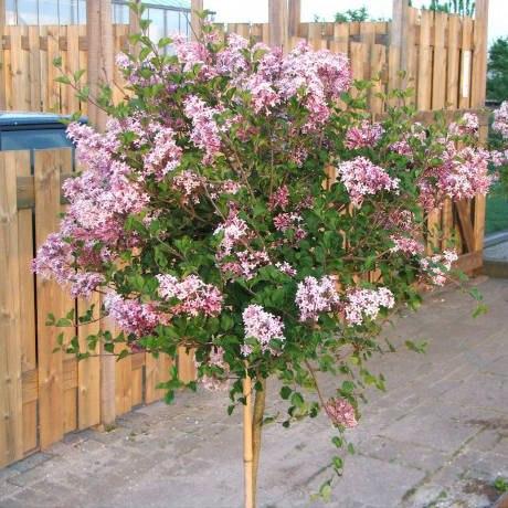 Любителям цветущих живых изгородей и штамбовых деревьев понравится идея использования Сирени. Вам подойдет сирень для фигурной стрижки, если: