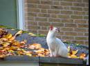 Середина октября Наш сад весь в ярко желтых листьях и кот на крыше Нидерланды