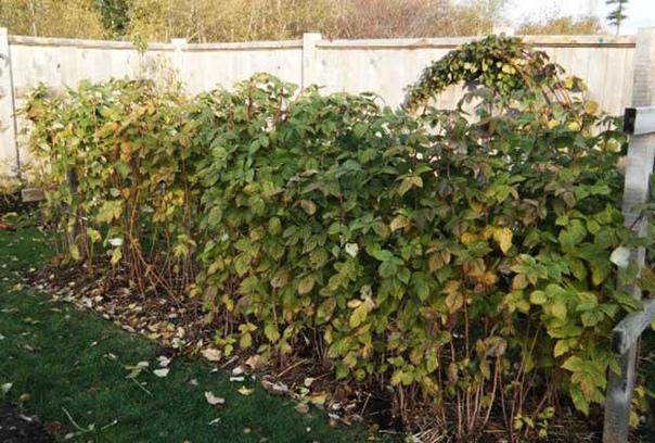 Избавляемся от поросли малины в огороде без гербицидов и химии Выращивая малину на своем участке, дачники часто сталкиваются с проблемой её бесконтрольного разрастания. Кустарник может проникать