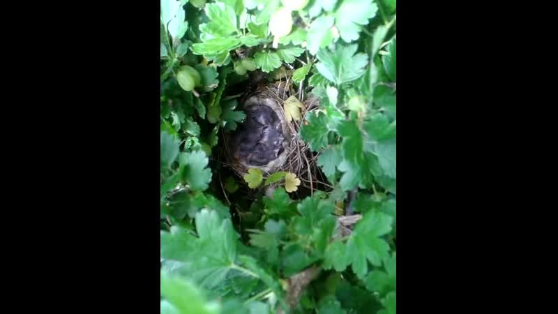 Video-2011-06-19-12-13-59 птенцы