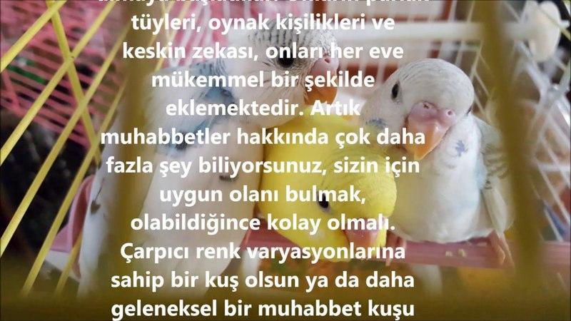 Muhabbet Kuşu Sahibi Olmak İçin En Önemli Sebepler - Most Important Causes to Be a budgeriger Owner