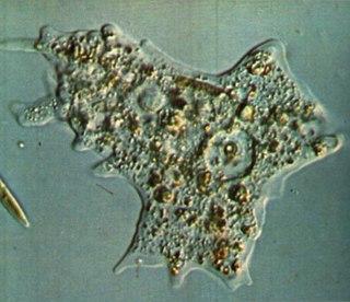 амеба обыкновенная картинки