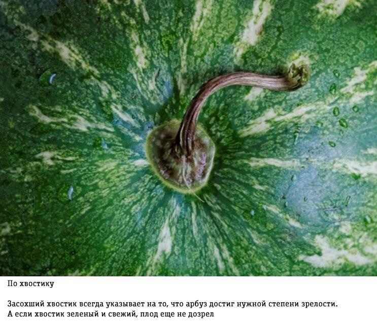 Как правильно выбирать арбуз: советы от фермера