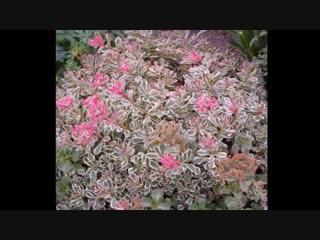 Самые красивые засухоустойчивые многолетники для сада-Дачники