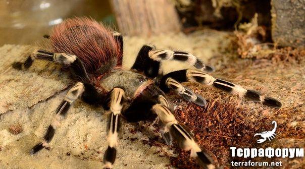 Nhandu-chromatus