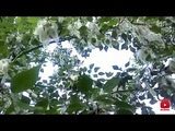 летняя зима тополиный пух poplar fluff погода жара