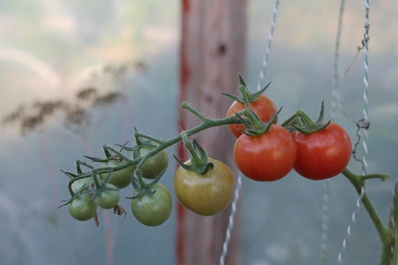 Фотоальбом «Осень - а что в саду и огороде»-Любимые черри, куст вырос сам