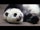 Панда спит - она устала