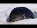 Seal Pup Calling for Mother