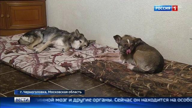 Вести Москва Второй шанс в Подмосковье выхаживают животных пострадавших от догхантеров