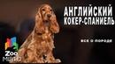 Английский кокер-спаниель - Все о породе собаки   Собака породы английский кокер-спаниель