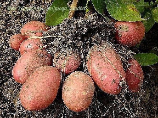 ✔ ПОЛЕЗНЫЕ СОВЕТЫ : 7 способов выращивания картофеля