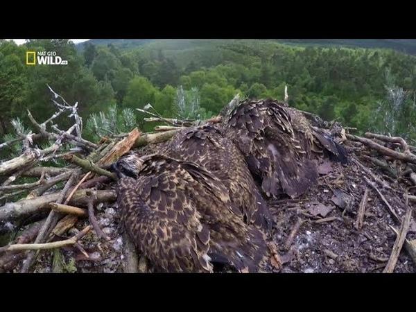 Nat Geo Wild: Дикая природа Шотландии: Высокогорье. Горцы (1080р)