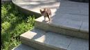 Фитнес для собак Чихуахуа Фондю ходит по ступенькам