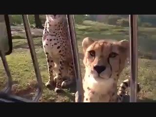 А вы знали, что гепарды мяукают, а не рычат?