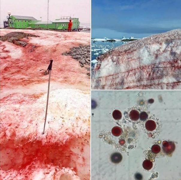 «Кровавый» снег в Антарктиде: еще один тревожный символ глобального потепления Полярники на антарктической исследовательской базе им. Вернадского сообщают о ярком феномене снег на обширной