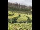 Чайные плантации. Сочи.