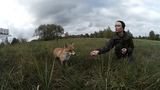 Радиоактивный лис Семен / Radioactive fox Simeon