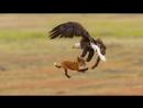 Белоголовый орлан отбирает добычу у лисы
