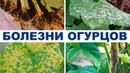 Болезни огурцов в теплице. Препараты для борьбы с болезнями на 2-й оборот (28-08-2018)