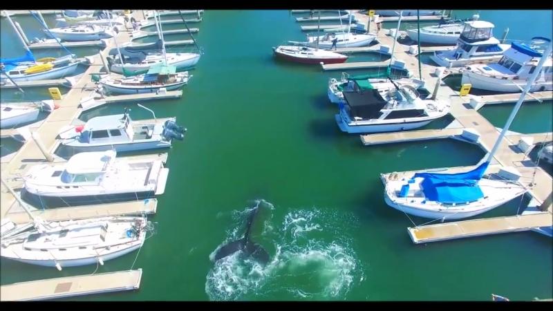 Жителям американского города Санта-Круз посчастливилось увидеть на расстоянии вытянутой руки синего кита. Он заплыл в бухту, где