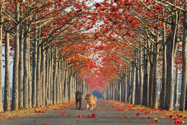 Аллея хлопковых деревьев, Тайвань