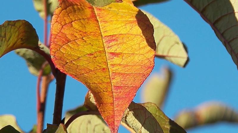 ДОБРОЕ ОСЕННЕЕ УТРО Красочные листья черемухи