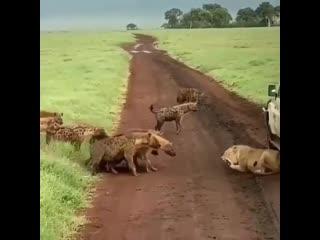 Wow hyenas vs lioness