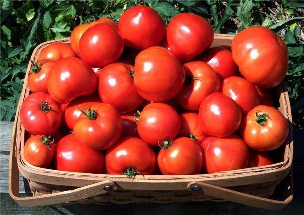 готовимся уже сейчас! урожай помидор вас порадуетлюбой из дачников хочет, чтобы в этом году урожай был непременно лучше, чем во все предыдущие.а можно ли этому поспособствовать конечно! особенно